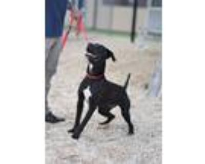 Adopt LINUS a Pit Bull Terrier, Mixed Breed