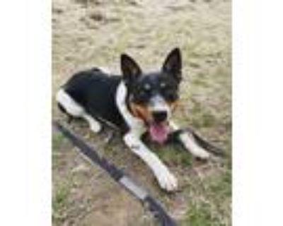 Adopt Kelso a Australian Cattle Dog / Blue Heeler, McNab