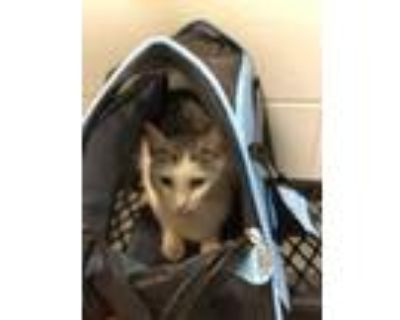 Adopt Josie a White Domestic Shorthair / Domestic Shorthair / Mixed cat in