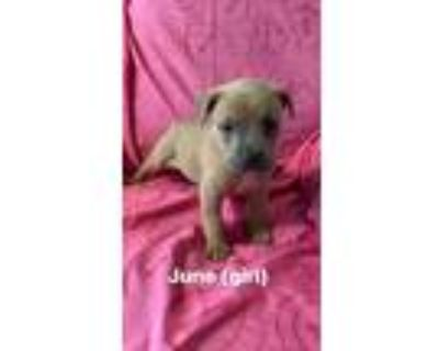 Adopt June a American Staffordshire Terrier