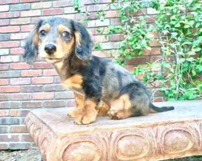 Miniature AKC Dapple Dachshund Puppy