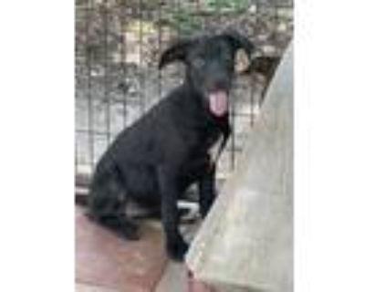 Adopt Zara a Black - with White Labrador Retriever / Rhodesian Ridgeback / Mixed