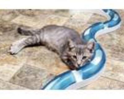 Adopt Kitten 21805 a Tabby
