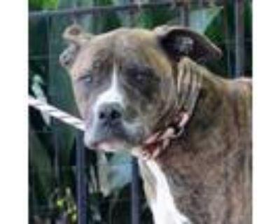 Adopt Everest a Brindle Boxer / Mixed dog in Atlanta, GA (30902129)