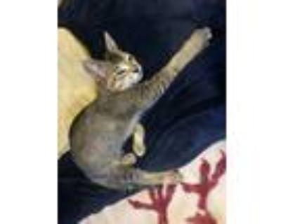 Adopt Jill (Temp) a Gray or Blue Domestic Shorthair / Mixed (short coat) cat in