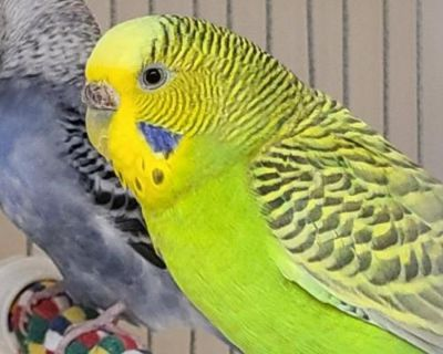 Female Parakeet - Other named Pearl available for adoption