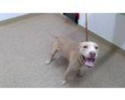 Adopt FREYA a Brown/Chocolate Labrador Retriever / Mixed dog in Albuquerque