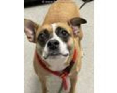 Adopt BAILEY a Brown/Chocolate - with White Boxer / Mixed dog in Lincolnton