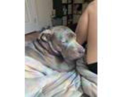 Adopt Mama a Gray/Silver/Salt & Pepper - with White Labrador Retriever /