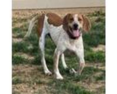 Adopt Sully a English Coonhound