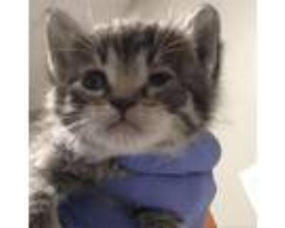 Adopt Aella a Gray or Blue Domestic Shorthair cat in Yuma, AZ (31259992)