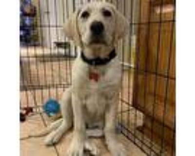 Dozer, Labrador Retriever For Adoption In Potomac, Maryland