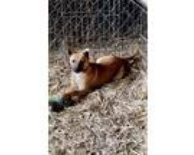 Adopt Jesse a Basenji, Belgian Shepherd / Malinois
