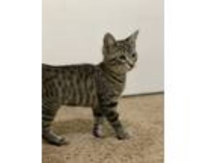 Adopt Poblano a Gray, Blue or Silver Tabby Domestic Shorthair (short coat) cat