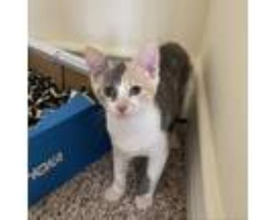 Adopt Donna a Calico or Dilute Calico Domestic Shorthair / Mixed cat in Culver