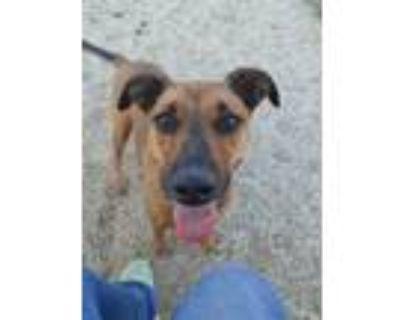 Adopt Clipper a Pit Bull Terrier, German Shepherd Dog