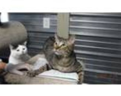 Adopt Dash a Gray, Blue or Silver Tabby Domestic Shorthair (short coat) cat in