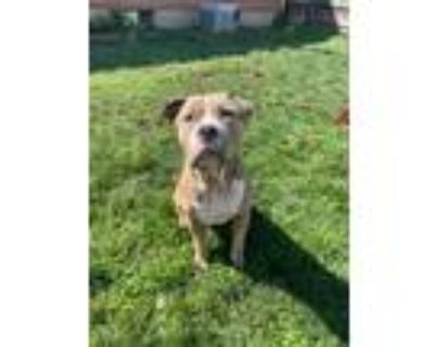 Adopt Ike a Tan/Yellow/Fawn - with White American Staffordshire Terrier /