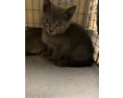 Adopt DALE a Gray or Blue Domestic Shorthair / Mixed (short coat) cat in Fort