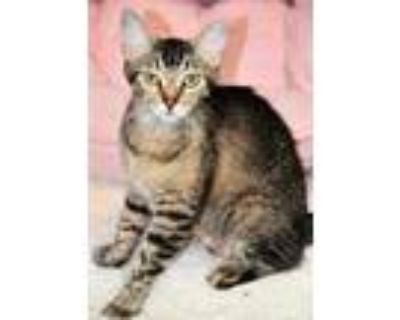 Adopt Widow a All Black Domestic Shorthair / Domestic Shorthair / Mixed cat in