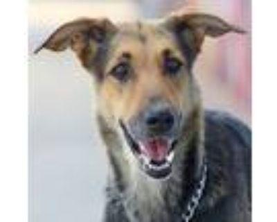 Adopt Speedy von Schleiz a German Shepherd Dog