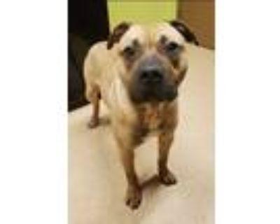 Adopt Thomas - Shy & Loving a Red/Golden/Orange/Chestnut Pit Bull Terrier /