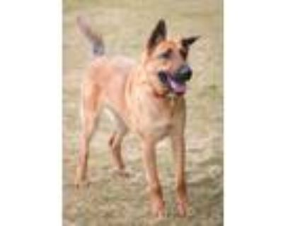 Adopt Chase a Brown/Chocolate - with Tan German Shepherd Dog / Mixed dog in West