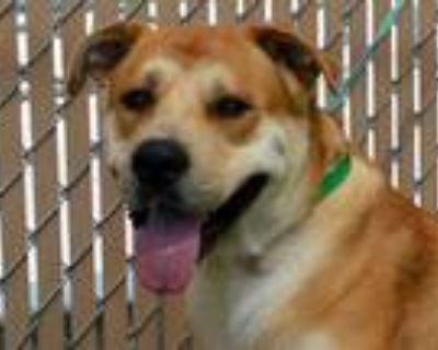 Adopt CENTRO a Tan/Yellow/Fawn - with White Labrador Retriever / Husky / Mixed