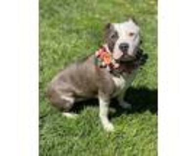 Adopt Demi a Gray/Silver/Salt & Pepper - with White American Staffordshire