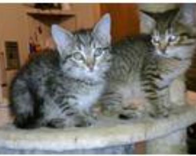 Adopt Maine Coon Mix kittens a Maine Coon, Domestic Long Hair