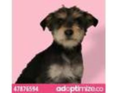 Adopt Soloman a Brown/Chocolate Border Terrier / Mixed dog in El Paso