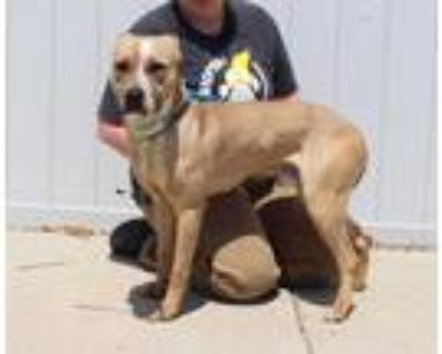 Adopt ICED TEA a Brown/Chocolate American Pit Bull Terrier / Mixed dog in
