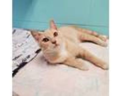 Adopt Rowin a Orange or Red Tabby Domestic Shorthair (short coat) cat in
