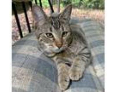 Adopt Cricket a Brown Tabby Domestic Shorthair (short coat) cat in McCormick