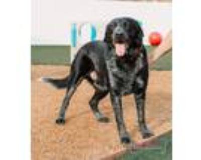 Adopt Titus (Banks) a Labrador Retriever, Australian Cattle Dog / Blue Heeler