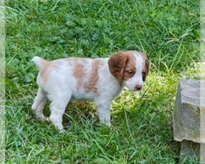 PUPPIES AVAILABLE FOR FALL TRAINING