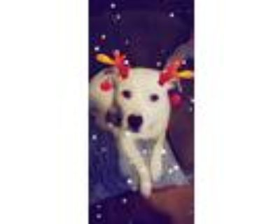 Adopt Kona a White - with Black American Pit Bull Terrier / Mixed dog in