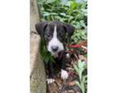 Adopt Garden angelica a Black - with White Boxer / Labrador Retriever dog in