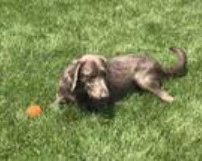 Adopt Frankie a Labrador Retriever