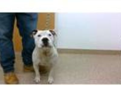 Adopt CHICA a White - with Black American Pit Bull Terrier / Mixed dog in
