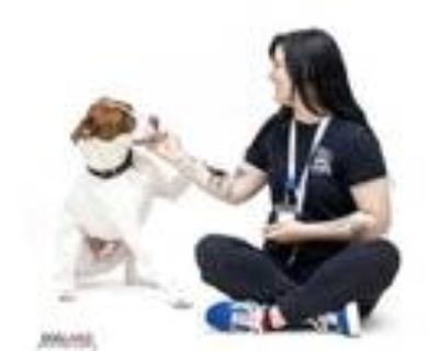 Adopt Jax a White Pointer / American Pit Bull Terrier / Mixed dog in
