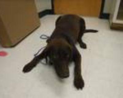 Adopt HANK a Labrador Retriever, Mixed Breed