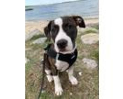 Adopt Rose a Brindle - with White American Staffordshire Terrier / Mixed dog in