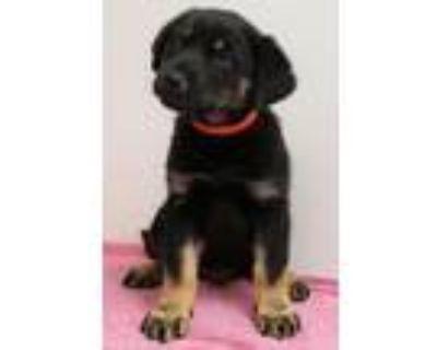 Adopt Billie a Rottweiler, Mixed Breed