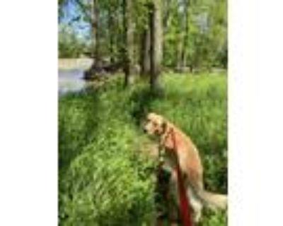 Adopt Lou Cooper a Tan/Yellow/Fawn Labrador Retriever / Golden Retriever / Mixed
