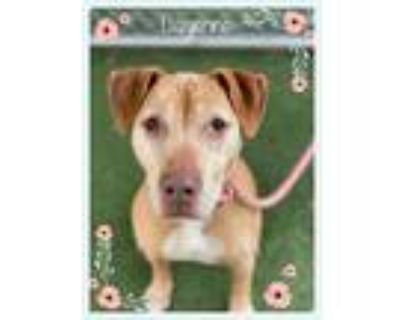 Adopt CAYENNE a Tan/Yellow/Fawn - with White Labrador Retriever / Mixed dog in
