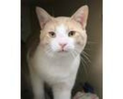 Adopt Pie a Orange or Red Domestic Shorthair / Domestic Shorthair / Mixed cat in