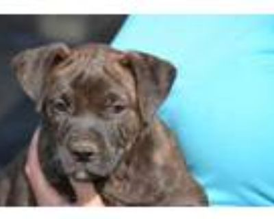 Adopt Rory a Brindle Boxer / Mixed dog in Chester Springs, PA (31675144)