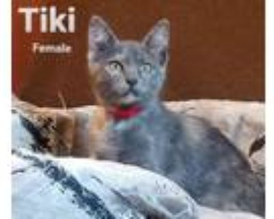 Adopt Tiki a Domestic Short Hair, Calico