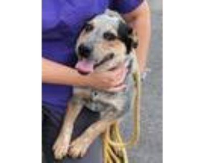 Adopt Maverick a Australian Cattle Dog / Blue Heeler